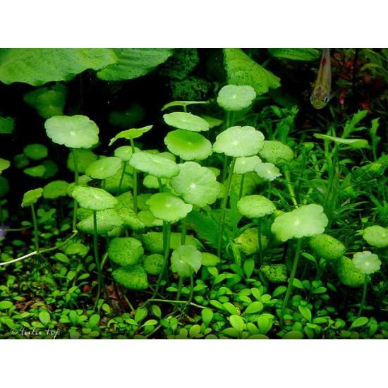 whorled pennywort hydrocotyle aquatic plant seeds