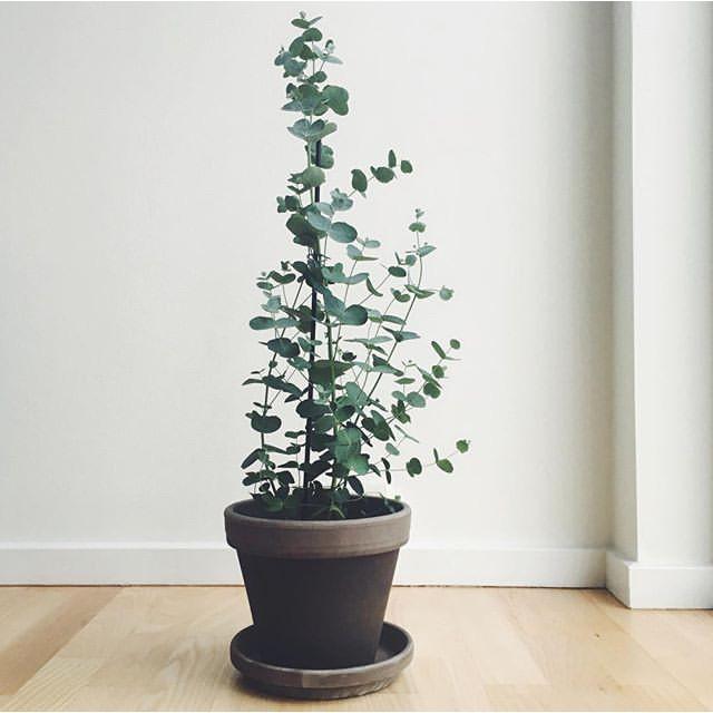 Eucalyptus Bonsai Tree Plant Seeds Shopee Philippines