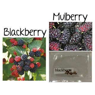Red Blackberry Mulberry Berry Fruit Tree Seeds Bonsai