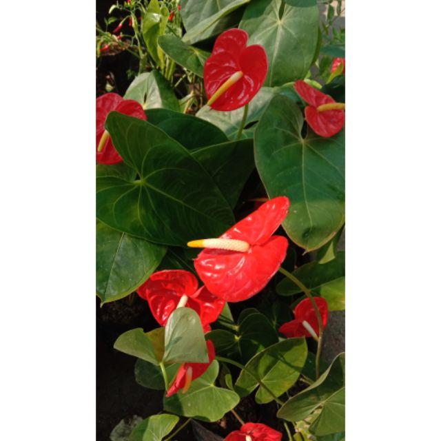 Anthurium Red Orange Indoor Plant Shopee Philippines