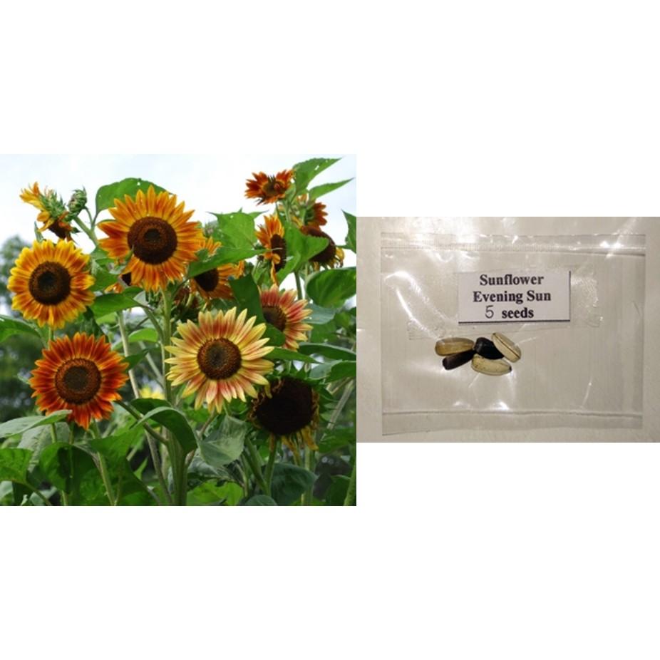 Sunflower Evening Sun Organic Flower Seeds