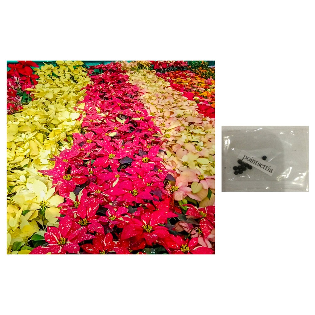 Poinsettia Assorted Colors Flower Plant Seeds Shopee Philippines