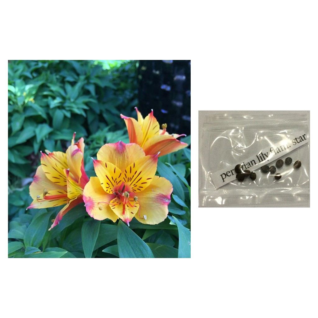 Peruvian Lily Alstroemeria Flower Seeds Shopee Philippines
