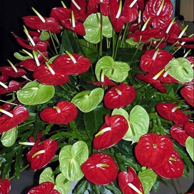Anthurium Shopee Philippines