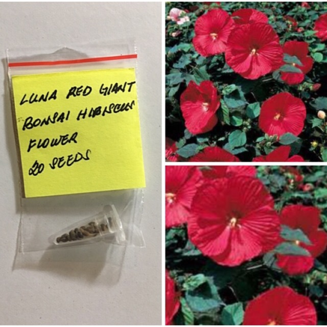 Luna Red Giant Bonsai Hibiscus Flower Seeds Shopee Philippines