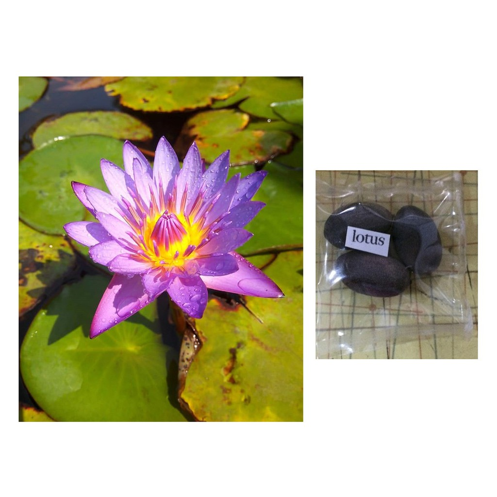 Mini Lotus Flower Seeds Shopee Philippines