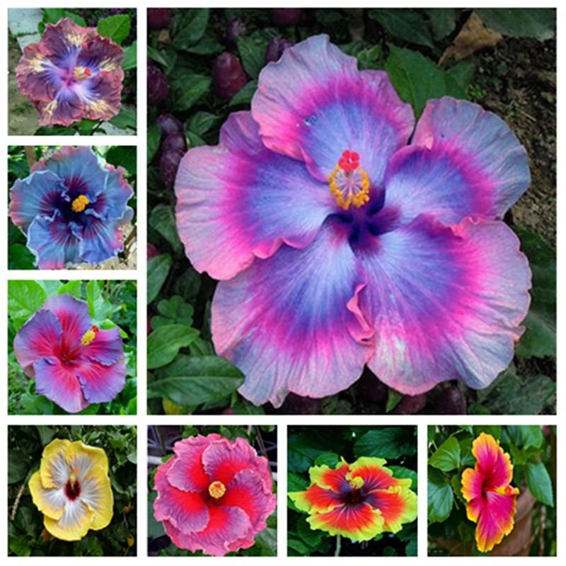 10pcs//bag hibiscus flower seeds giant hibiscus seed Color Silver Blue