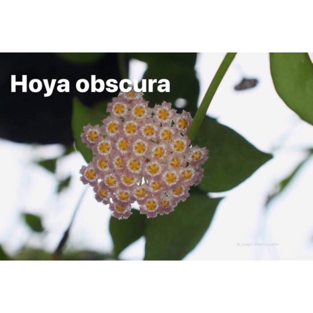 Hoya Obscura Established Rooted Cuttings Shopee Philippines
