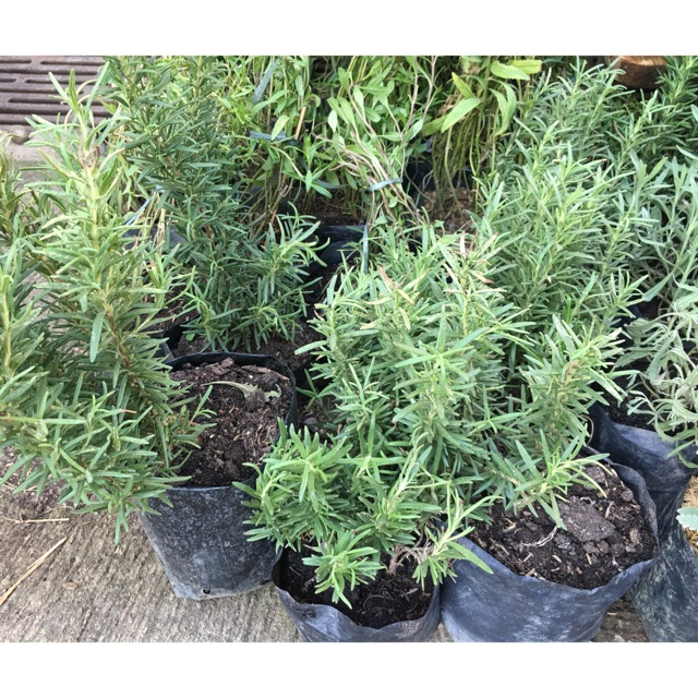 Rosemary Plant For Sale Shopee Philippines