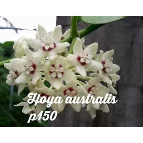 Hoya Kerrii Cod Restock Shopee Philippines