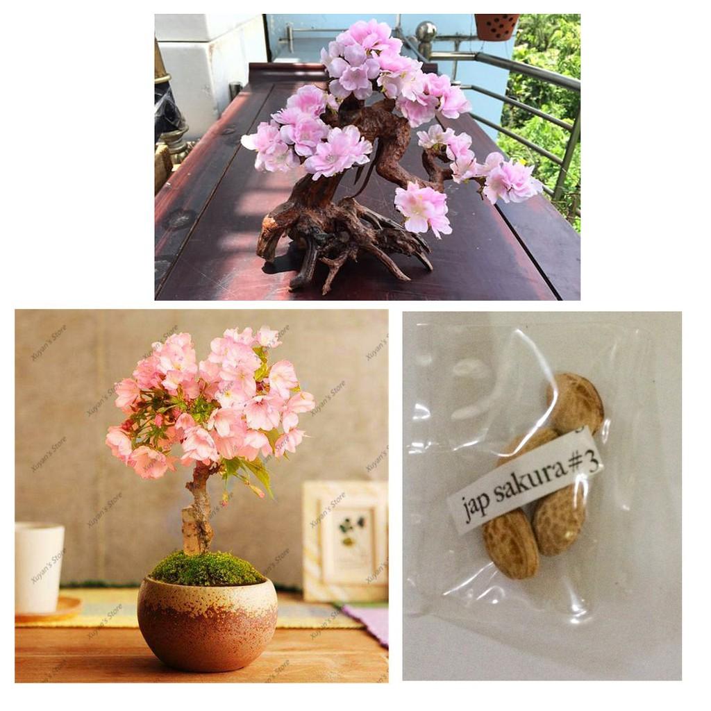 40 Japanese Cherry Blossom Sakura Tree Seeds Pink Flowers for Planter