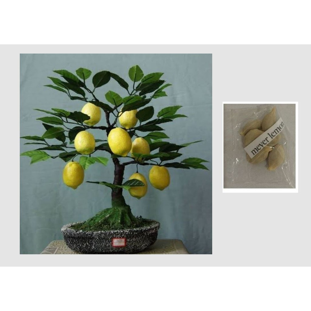 Bonsai Meyer Lemon Tree Certified Seeds Shopee Philippines