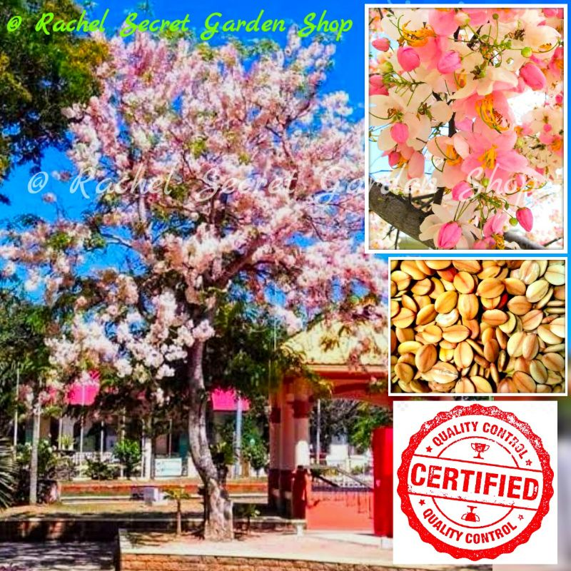 Cherry blossoms philippines Starbucks Philippines