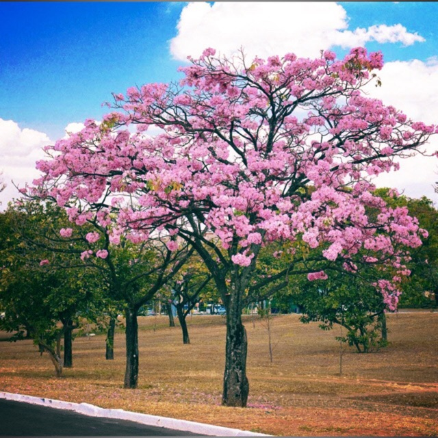 Pink Cherry Blossoms Tree Seedling Shopee Philippines