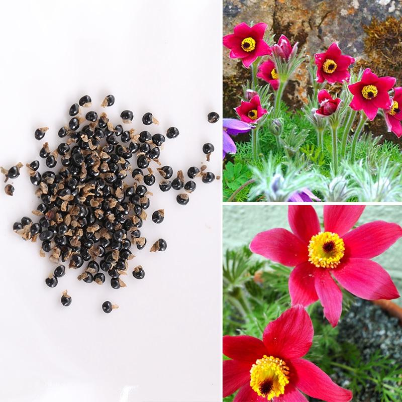 70pcs Rare Pasque Flower Seeds Pulsatilla Anemone Perennial Bonsai Plant