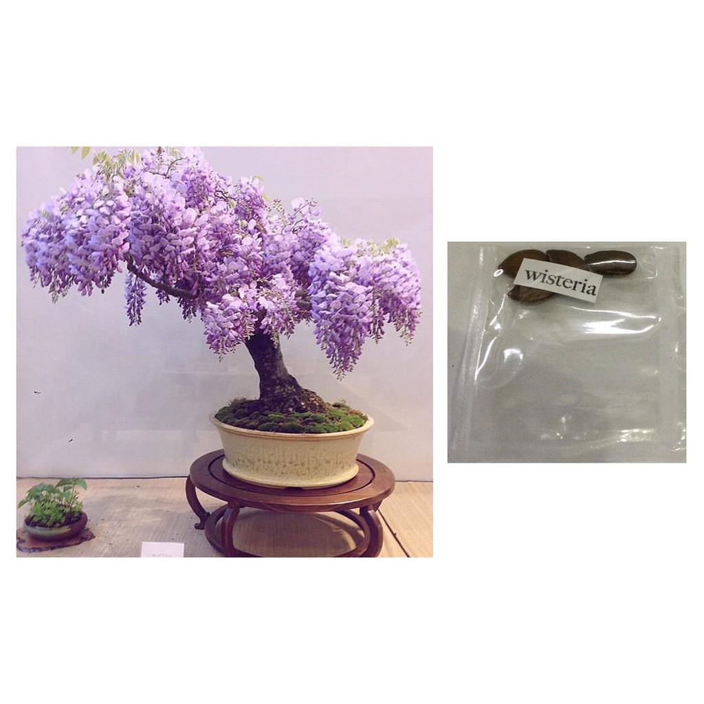 Bonsai Wisteria Mixed Colors Flower Tree Seeds Shopee Philippines