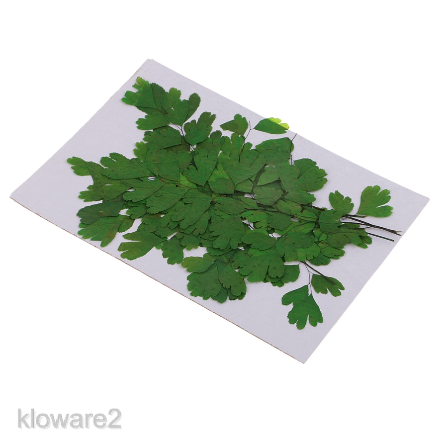 12x Natural Dried Flowers Rock Fern Leaves Scrapbooking for Art Floral Decor