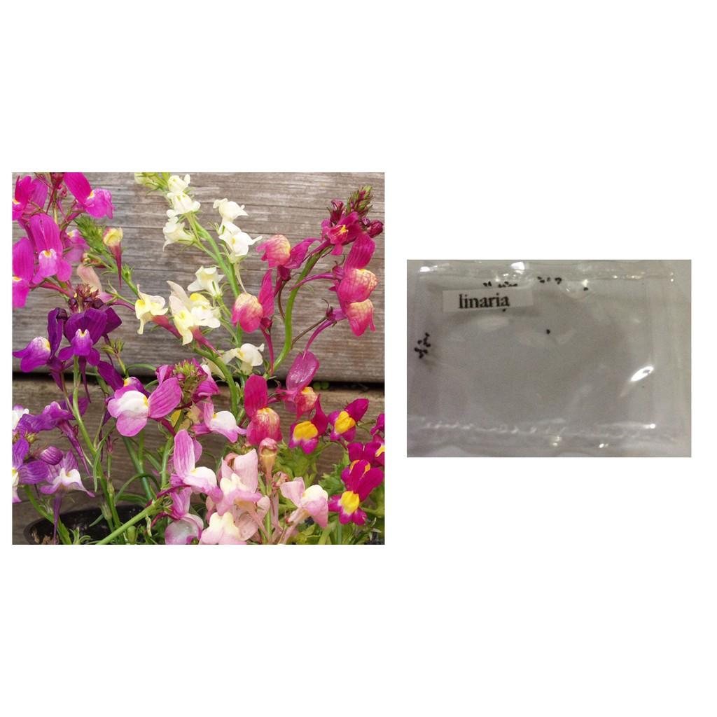 Linaria flower seeds