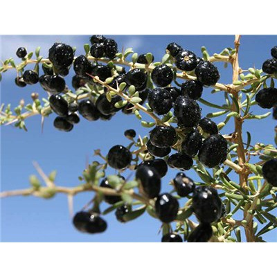 Black Goji Berry Black Wolfberry Gojiberry Shopee Philippines