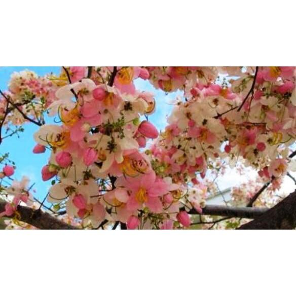 Palawan Cherry Blossom Seeds Balayong Seeds Shopee Philippines