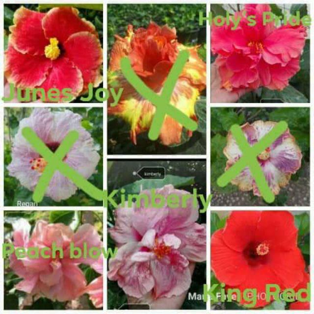 Hibiscus Cuttings Shopee Philippines