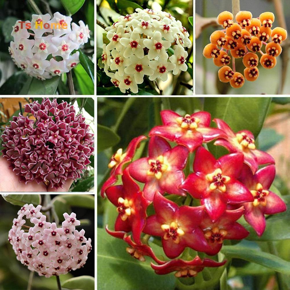 Hoya Plants For Sale Shopee Philippines