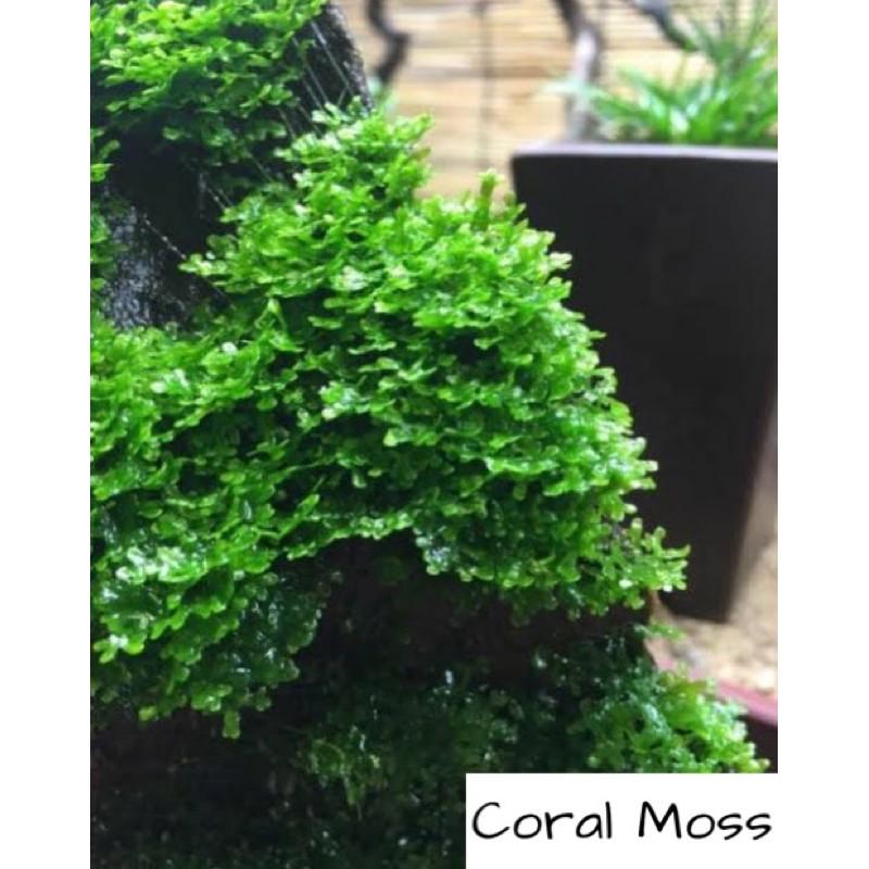 Coral Moss For Aquarium Aquascape Shopee Philippines