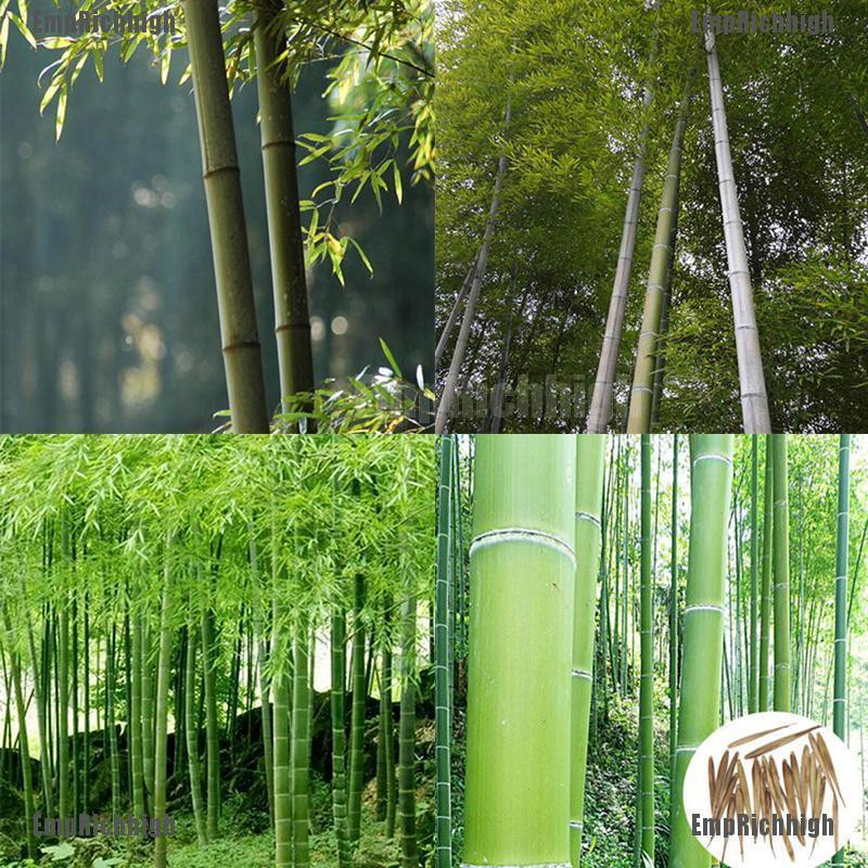 EmpRichhigh 100+ Pcs Seeds Phyllostachys Pubescens Moso-Bamboo Seeds Garden  Plants