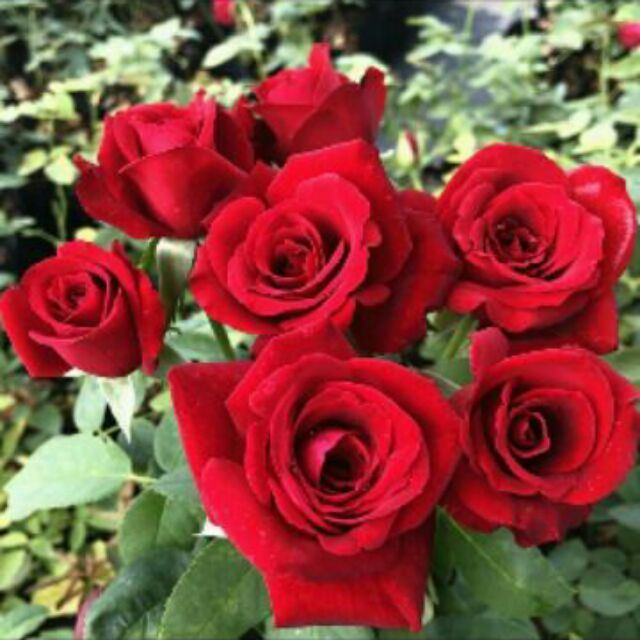 Red Rose Plant Seeds Shopee Philippines