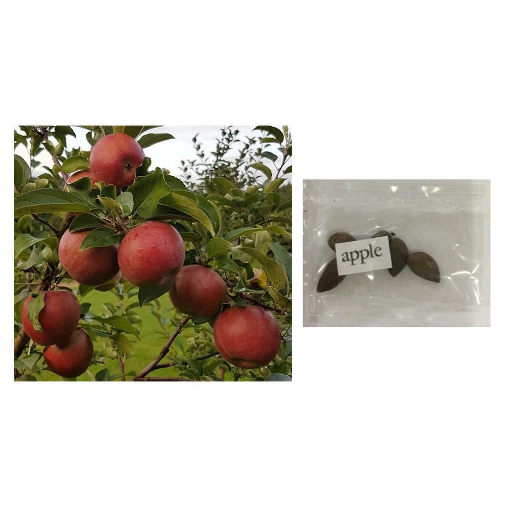 Rose Apple Fruit In Tagalog