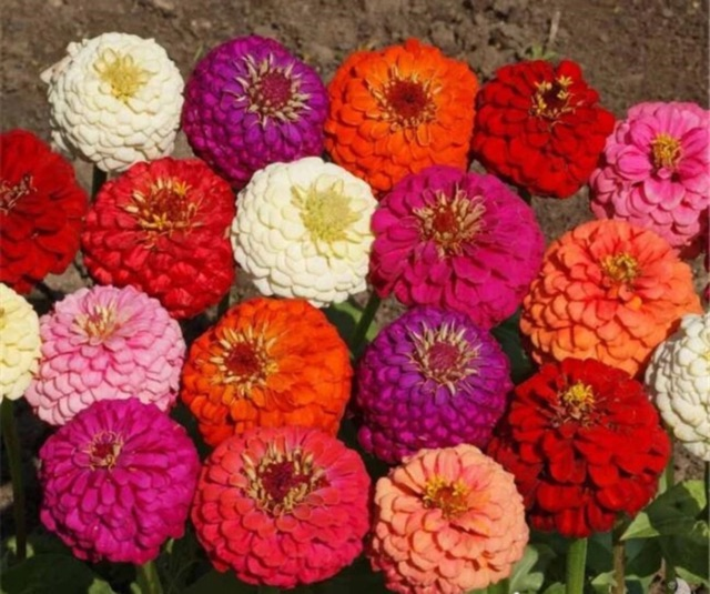Giant Zinnia Double Blossom Mix Color Seeds | Shopee Philippines